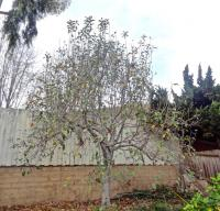 San Diego fruit tree pruning, apple