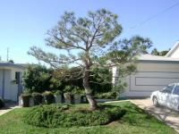 Japanese Pine pruning/lacing/shaping/grooming San Diego