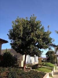 Arbutus 'marina' pruning, san diego