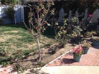 San Diego Rose Pruning, Chula Vista