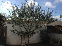 San Diego fruit tree pruning, apricot