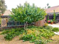 Nectarine tree pruning in Vista, CA.  San Diego fruit tree pruning.