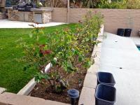 Rose pruning san diego, san diego rose pruning