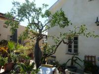 san diego citrus pruning, orange tree pruning