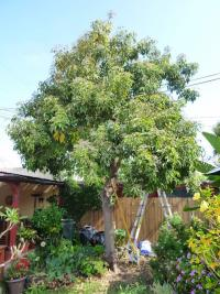 San Diego fruit white sapote pruning