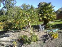 San Diego fruit tree pruning, orange tree, san diego citrus pruning