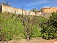 Plum tree pruning san diego