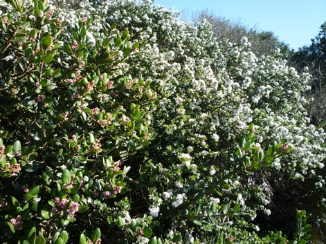 Plants comprehensive san diego native landscaping bottom photo of the pink flowered lb at left and white flowered ceanothus verrucosus at right scotts blog san diego native landscaping mightylinksfo