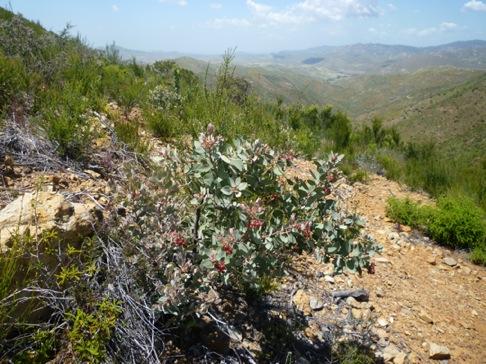 Otay Mountain Lotus Form on Otay Mountain