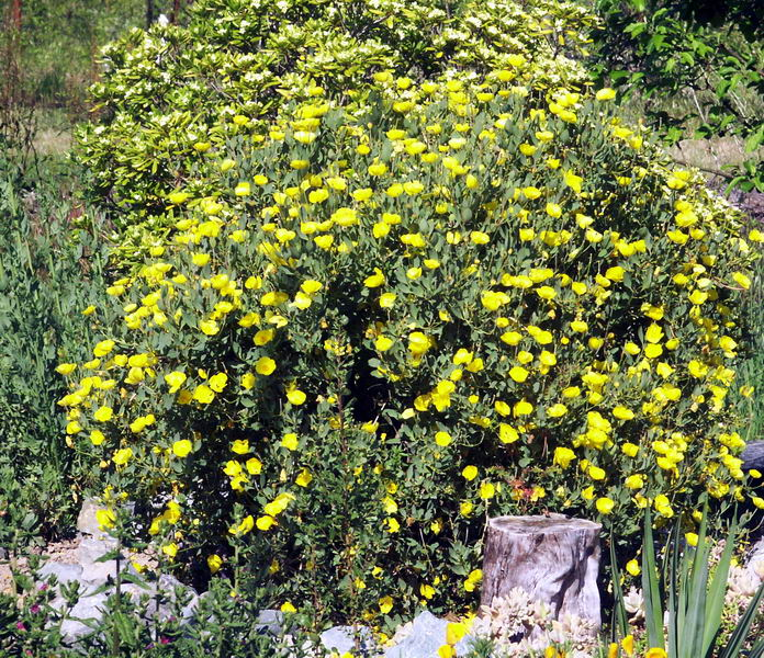 Plants comprehensive southern california native landscaping for Southern california native plants